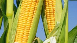 Kukurydza – samo zło. Lepiej jej nie jedz!